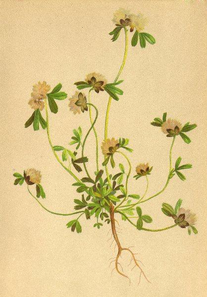 Associate Product ALPENFLORA ALPINE FLOWERS. Trifolium saxatile All-Felsenklee 1897 old print