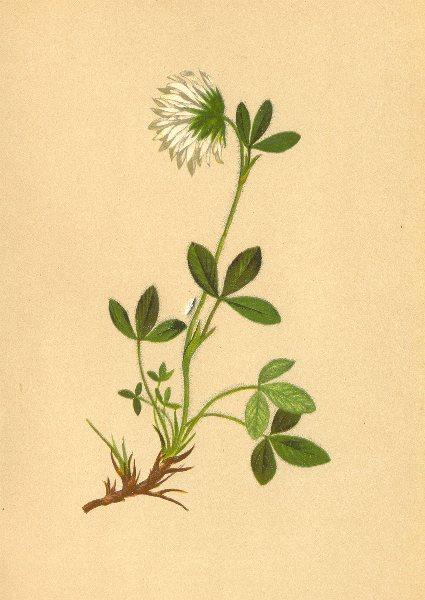 Associate Product ALPENFLORA ALPINE FLOWERS. Trifolium noricum Wulf-Norischer Klee 1897 print