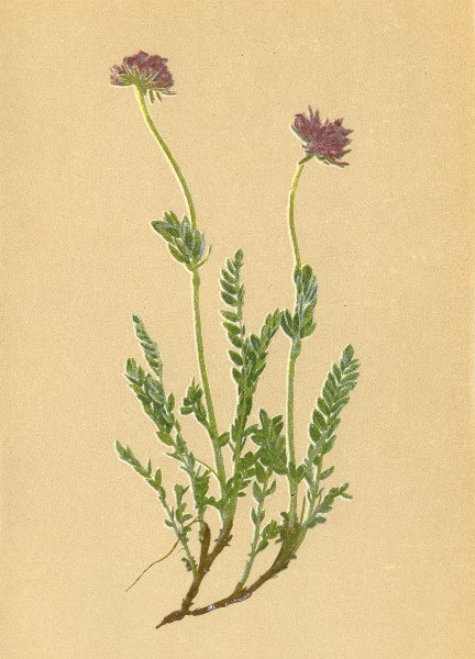 Associate Product ALPENFLORA ALPINE FLOWERS. Anthyllis jacquini A. Kern-Jacquin's Wundklee 1897