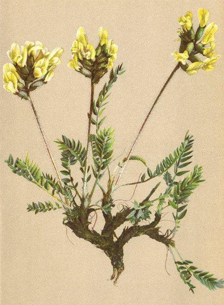 Associate Product ALPENFLORA ALPINE FLOWERS. Oxytropis campestris (L. ) DC-Feld-Spitzkiel 1897