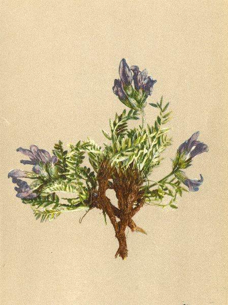 Associate Product ALPENFLORA ALPINE FLOWERS. Oxytropis halleri Bunge-Haller's Spitzkiel 1897
