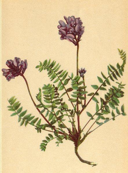 Associate Product ALPENFLORA ALPINE FLOWERS. Oxytropis Montana (L. ) DC-Berg-Spitzkiel 1897