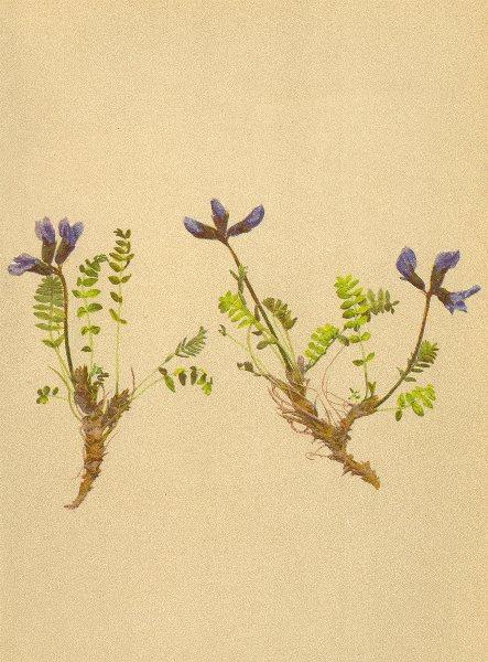 Associate Product ALPENFLORA ALPINE FLOWERS. Oxytropis triflora Hoppe-Dreiblüthiger Spitzkiel 1897
