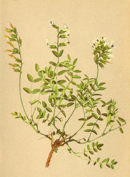 Associate Product ALPENFLORA ALPINE FLOWERS. Astragalus australis (L. ) Lam-Südlicher Tragant 1897