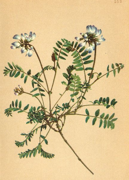 ALPENFLORA ALPINE FLOWERS. Astragalus alpinus L-Alpentragant 1897 old print