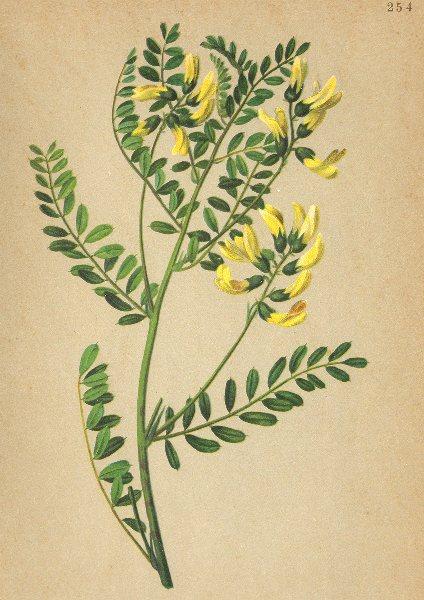 Associate Product ALPENFLORA ALPINE FLOWERS. Astragalus penduliflours Lam-Berglinse 1897 print