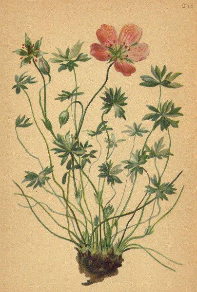Associate Product ALPINE FLOWERS. Geranium argenteum L-Silberglänzender Storchschnabel 1897