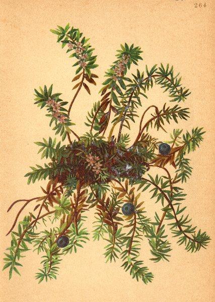 Associate Product ALPENFLORA ALPINE FLOWERS. Empetrum nigrum L-Rauschbeere 1897 old print