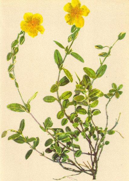 ALPINE FLOWERS. Helianthemum hirsutum A. Kern-Rauhhaariges Sonnen röschen 1897