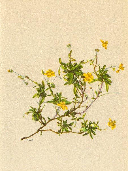 Associate Product ALPENFLORA ALPINE FLOWERS. Helianthemum alpestre Dun-Alpen-Sonnenröschen 1897