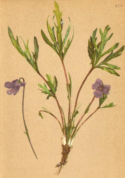Associate Product ALPENFLORA ALPINE FLOWERS. Viola pinnata L-Fiederblättriges Veilchen 1897