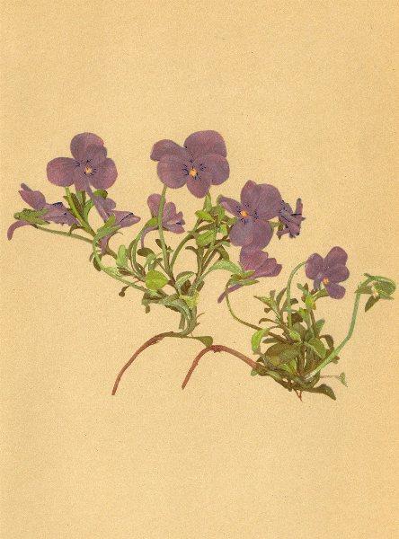 Associate Product ALPENFLORA ALPINE FLOWERS. Viola cenisia L-Mont Cenis-Veilchen 1897 old print