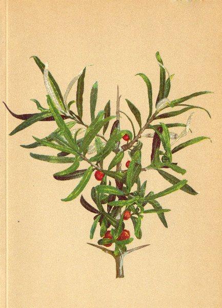 Associate Product ALPENFLORA ALPINE FLOWERS. Hippophäes rhamnoides L-Sanddorn 1897 old print