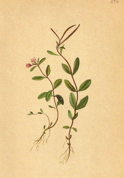 Associate Product ALPENFLORA.Epilobium anagallidifolium Lam-Gauchheilblättriges Weidenröschen 1897
