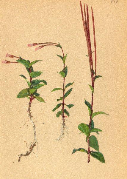 Associate Product ALPINE FLOWERS. Epilobium alsinefolium Vill-Mierenblättriges Weidenröschen 1897