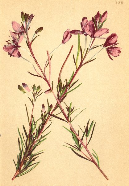 Associate Product ALPENFLORA ALPINE FLOWERS. Epilobium dodonaei Vill-Dodonäus Weidenroschen 1897