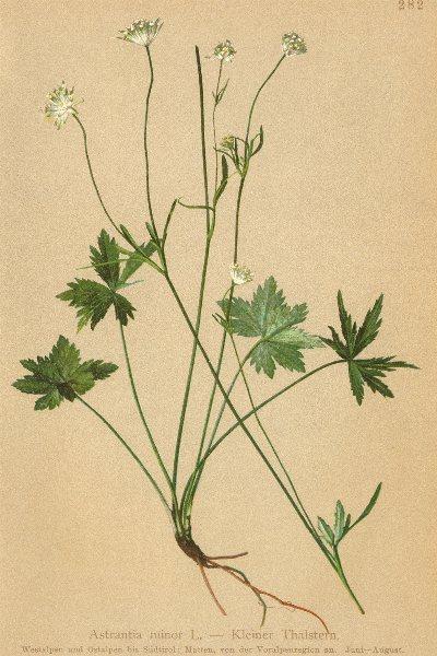 Associate Product ALPENFLORA ALPINE FLOWERS. Astrantia minor L-Kleiner Thalstern 1897 old print