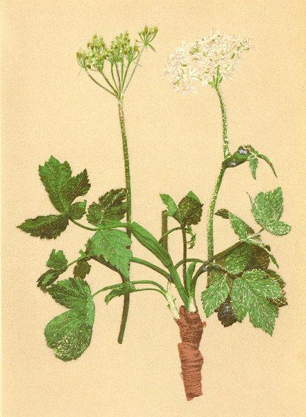 Associate Product ALPENFLORA ALPINE FLOWERS.Heracleum austriacum L-Oesterreichische Bärenklau 1897