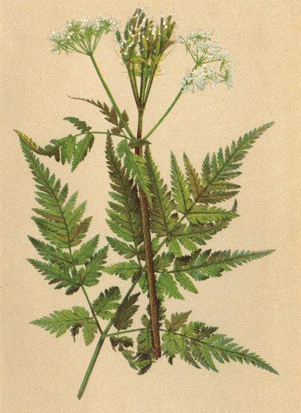 Associate Product ALPENFLORA ALPINE FLOWERS. Myrrhis odorata (L. ) Scop-Süssdolde 1897 print