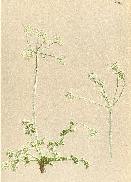 Associate Product ALPENFLORA ALPINE FLOWERS. Athamanta cretensis L-Kretische Augenwurz 1897