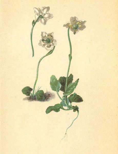 Associate Product ALPENFLORA ALPINE FLOWERS. Pirola uniflora L-Einblütiges Wintergrün 1897 print