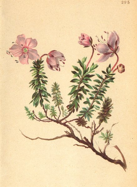Associate Product ALPENFLORA ALPINE FLOWERS.Rhodothamnus chamaecistus(L.)Rchb-Zwerg-Alpenrose 1897