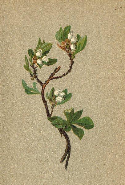 Associate Product ALPENFLORA ALPINE FLOWERS. Arctous alpina (L. ) Nied-Alpen-Bärentraube 1897