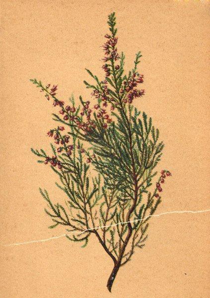 Associate Product ALPENFLORA ALPINE FLOWERS. Calluna vulgaris (L. ) Salisb-Besenheide 1897 print