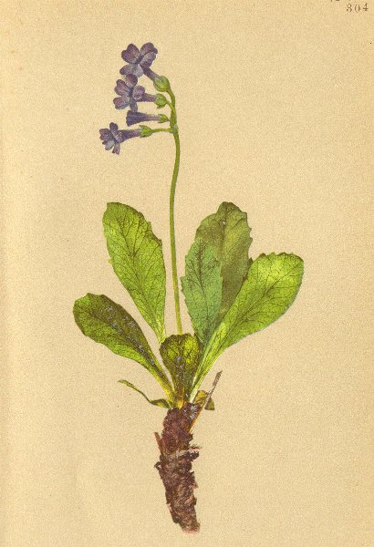 ALPENFLORA ALPINE FLOWERS. Primula latifolia Lap-Breitblättrige Primel 1897