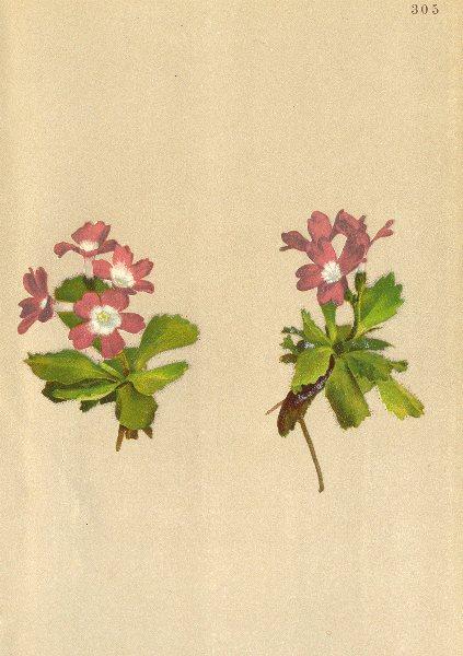 Associate Product ALPENFLORA ALPINE FLOWERS. Primula oenensis Thom-Jnn-Primel 1897 old print