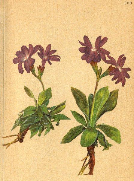 Associate Product ALPENFLORA ALPINE FLOWERS. Primula clusiana Tausch-Clusius Primel 1897 print