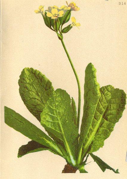 Associate Product ALPINE FLOWERS. Primula elatior Jacq-Hochstengliger Himmelsschlüssel 1897