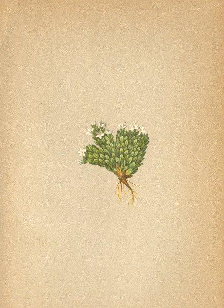 Associate Product ALPINE FLOWERS. Aretia imbricata Pax-Dachziegelblättriger Mannsschild 1897