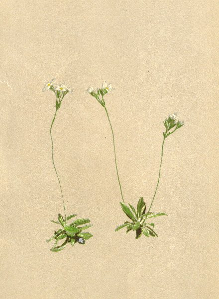 Associate Product ALPINE FLOWERS. Androsace obtusifolia All-Stumpfblättriger Mannsschild 1897