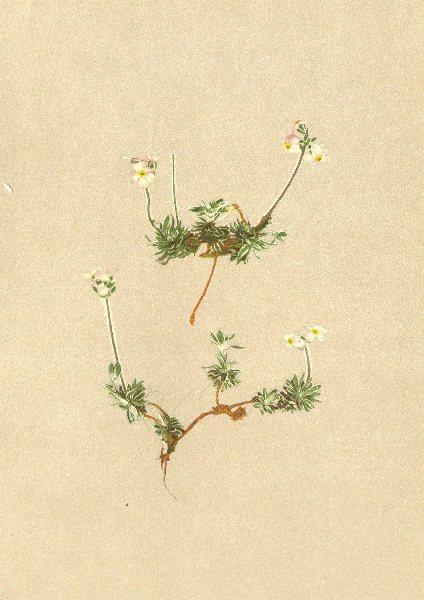 Associate Product ALPENFLORA ALPINE FLOWERS. Androsace villosa L-Zottiger Mannsschild 1897 print