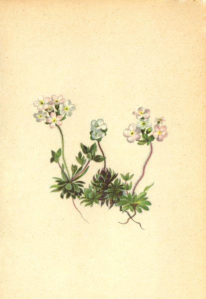 Associate Product ALPENFLORA ALPINE FLOWERS. Androsace chamaejasme Host-Zwerg-Mannsschild 1897