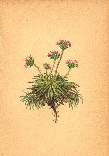 Associate Product ALPENFLORA ALPINE FLOWERS. Androsace carnea L-Fleischrother Mannsschild 1897