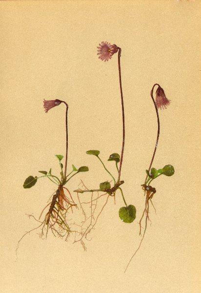 Associate Product ALPENFLORA ALPINE FLOWERS. Soldanella pusilla Baumg-Kleines Alpenglöckchen 1897