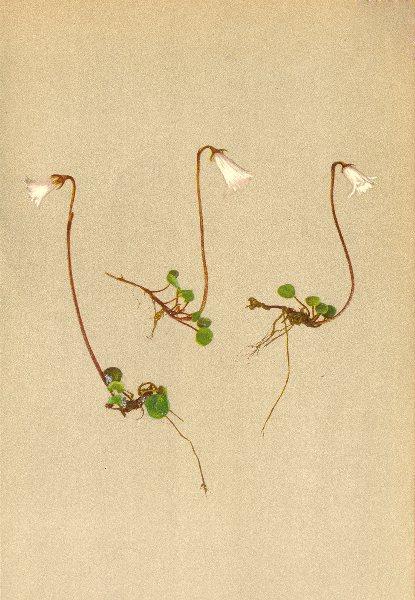 ALPENFLORA ALPINE FLOWERS. Soldanella minima Hoppe-Zwerg-Alpenglöckchen 1897