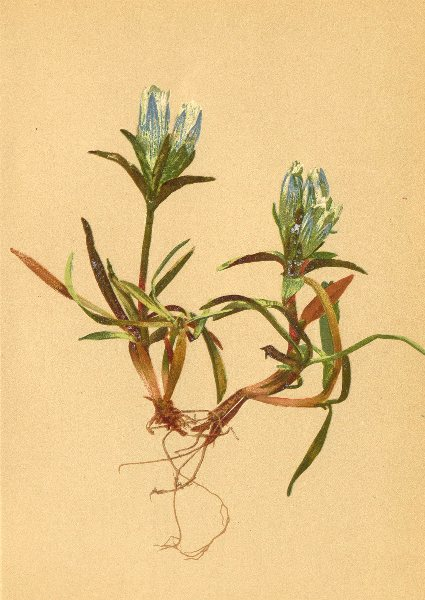 Associate Product ALPENFLORA ALPINE FLOWERS. Gentiana frigida Hänke-Kälteliebender Enzian 1897