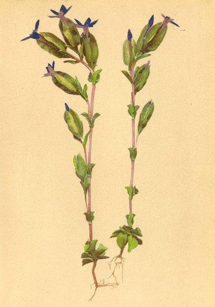 Associate Product ALPENFLORA ALPINE FLOWERS. Gentiana utriculosa L-Blasiger Enzian 1897 print