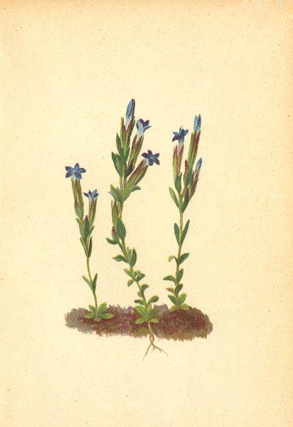 Associate Product ALPENFLORA ALPINE FLOWERS. Gentiana nivalis L-Schneeenzian 1897 old print