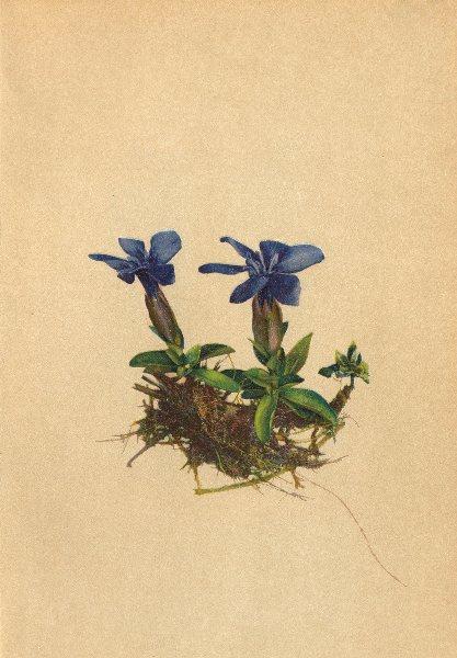Associate Product ALPENFLORA ALPINE FLOWERS. Gentiana Varna L-Frühlings-Enzian 1897 old print