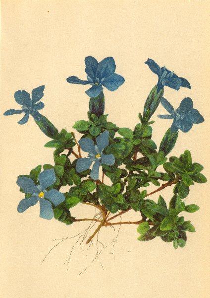 Associate Product ALPENFLORA ALPINE FLOWERS. Gentiana brachyphylla Vill-Kurzblättriger Enzian 1897
