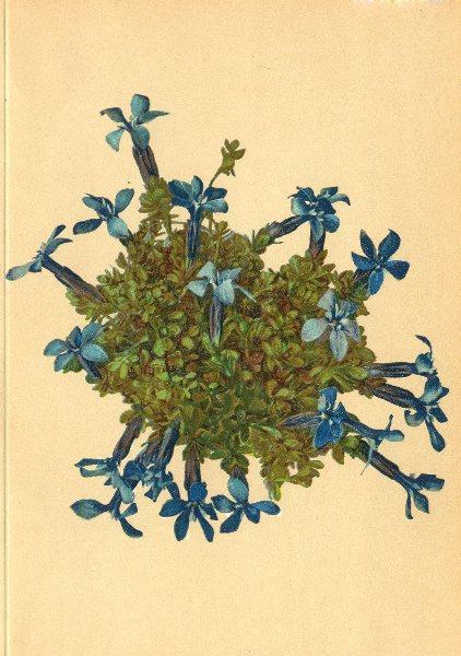 Associate Product ALPENFLORA ALPINE FLOWERS. Gentiana bavarica L-Baierischer Enzian 1897 print