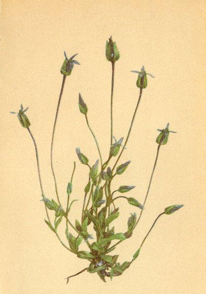 Associate Product ALPENFLORA ALPINE FLOWERS. Gentiana tenella Thom-Zarter Enzian 1897 old print