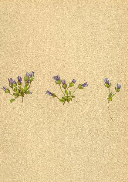 Associate Product ALPENFLORA ALPINE FLOWERS. Gentiana nana Wulf-Zwergenzian 1897 old print