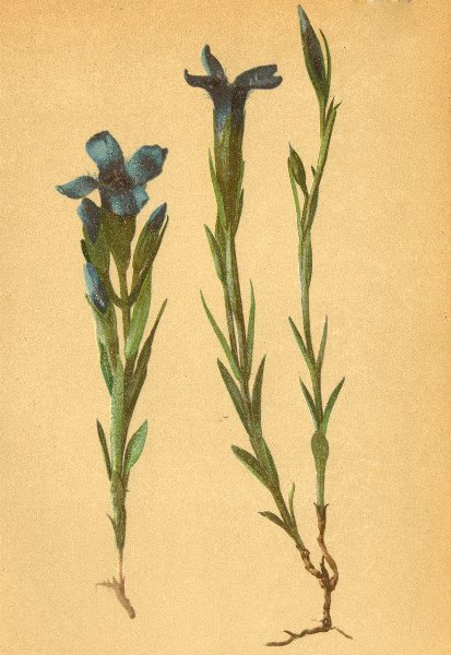 Associate Product ALPENFLORA ALPINE FLOWERS. Gentiana ciliats L-Gefranster Enzian 1897 old print