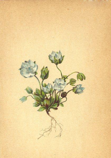 Associate Product ALPENFLORA ALPINE FLOWERS.Pleurogyne carinthiaca(Wulf.)Gris-Fransenkante 1897