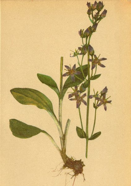 Associate Product ALPENFLORA ALPINE FLOWERS. Sweertia perennis L-Tarant 1897 old antique print